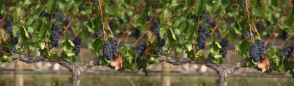 Vines Trained with Protective Netting Showing at 1150 Wines | Top Rated Winery in Mendoza, Argentina